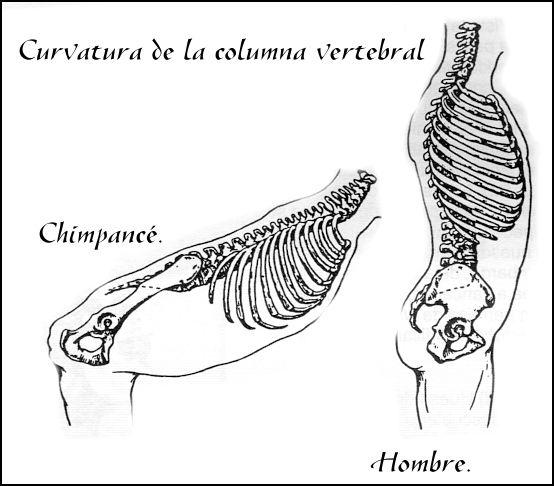 columna mono